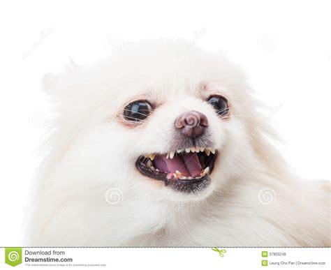 white pomeranian feel angry stock photo image