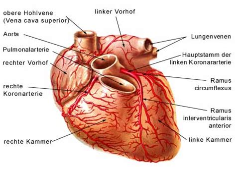 pericardial sac circulatory system heart a paracelsus die