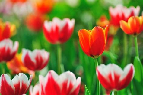 Hd Tulip Picture by Free Tulip Flower Images Free Stock Photos