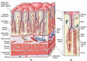 Gastric Secretory Anatomy Gastric Glands Within The Mucosa Of The Stomach Open As Gastric Pits