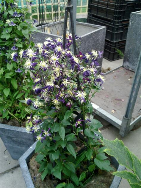 can i plant clematis in a pot can i grow clematis in a pot 28 images how to grow clematis in containers cleeve nursery in