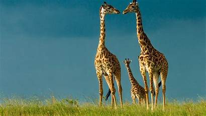 Giraffe Wallpapers Desktop Animal Background Famous Backgrounds