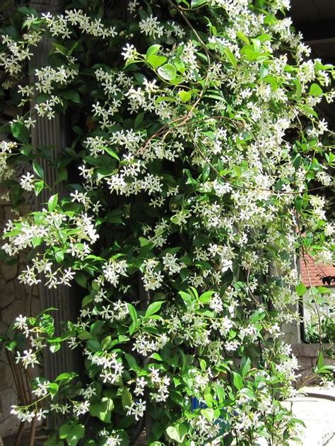 vine type plants types of fragrant climbing plants gardens flower and seating areas