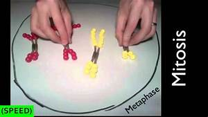 Speed  Mitosis And Meiosis Simulation