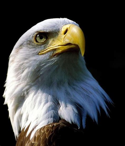 foto burung elang gambarbinatangcom