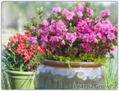 shrubs in containers blooming shrub encore azaleas gardening
