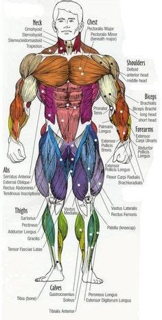 Our muscle chart & diagram below lists the scientific name for each. Major muscles of the body, with their COMMON names and SCIENTIFIC (Latin) names YOUR JOB is to ...