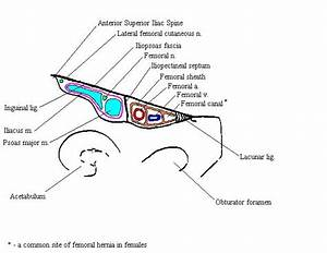 Anatomy And Physiology  Lower Extremity  Femoral Canal