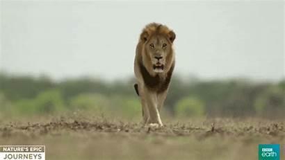Africa Gold Lion Male West Grade Guru