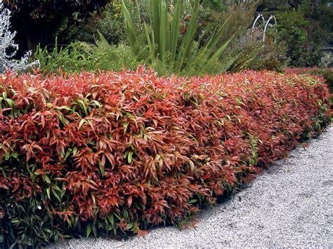 great garden plants bottlebrush callistemon great balls of