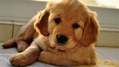 Puppy Dog Wallpapers Eyes Beige Sleepy Phone
