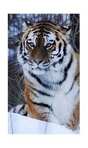 BBC Wild Mission Pitch: Siberian Tiger | Living Image Music