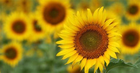 Dzīvespriecīgākās puķes, kas seko saules virzienam - DELFI