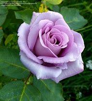 Blue Moon Rose