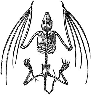 bat skeleton clipart