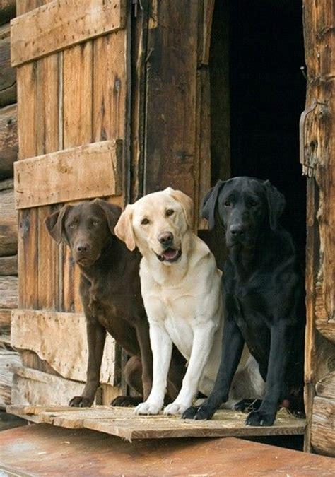 best ideas about labradors on labrador retriever petsync