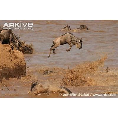Blue wildebeest photo - Connochaetes taurinus G32690