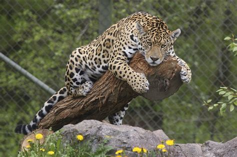 Jaguar Animal Wallpaper - jaguar wallpaper animal wallpapersafari