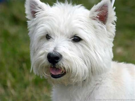 top 10 cutest non shedding dogs westie is all you need
