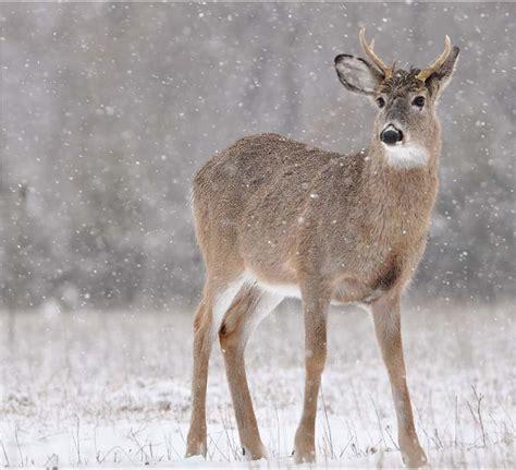 spike deer buck bucks antler brain lake horn long abscess culling genetics improve fiction fact hunting antlers found myth always