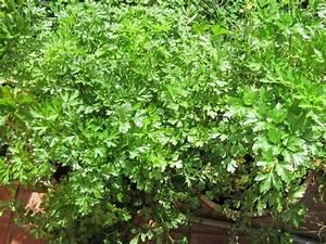 Semis De Persil : le pourpier une plante potag re essayer ~ Dallasstarsshop.com Idées de Décoration