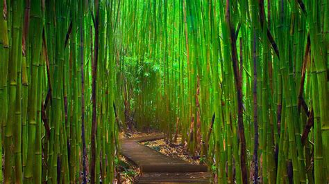 bamboo wallpapers  wallpapers