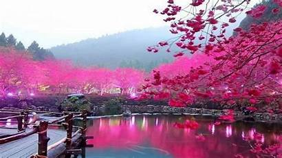 Cherry Blossom Computer Wallpapers Blossoms Desktop Backgrounds