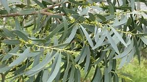 Eucalyptus Plante D Intérieur : huile essentielle d 39 eucalyptus radi bio ch motyp e eucalyptus radiata 100 pure et ~ Melissatoandfro.com Idées de Décoration