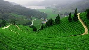 The, Dragon, Well, Tea, Fields, -, Hangzhou, China