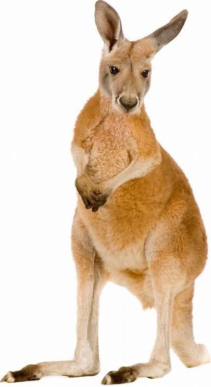 Kangaroo Clipart Transparent Pngimg Kangaroos Farts Foot