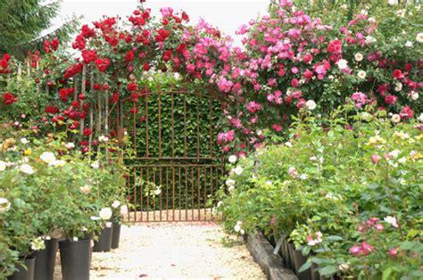 fil roses le temps des roses roses anciennes et rosiers anglais