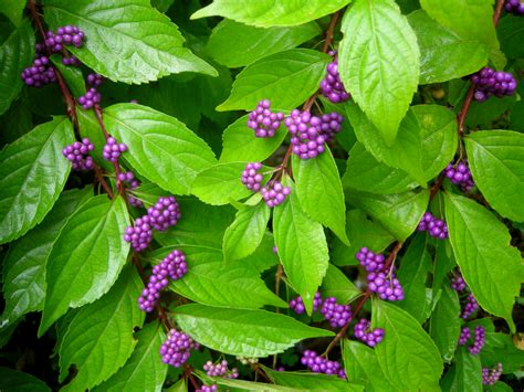 shrubs with purple berries callicarpa dichotoma early amethyst at carolyn s shade gardens