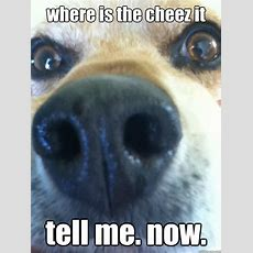Where Is The Cheez It Tell Me Now  Begging Beagle Quickmeme