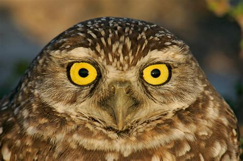 Cape Coral's Burrowing Owls