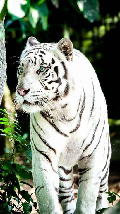 Tiger 4k Wallpapers Tigre Cool 1080p Desktop