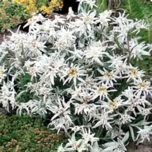 Amazon.com : Outsidepride Edelweiss - 5000 Seeds ...