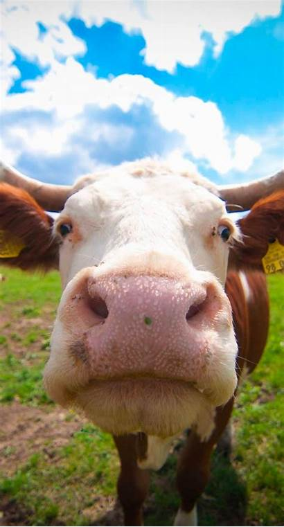 Cow Cute Cattle Iphone7 Blur Animal Plus