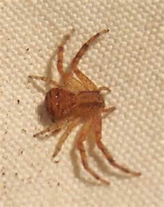 Brown Recluse Spider Identification Texas