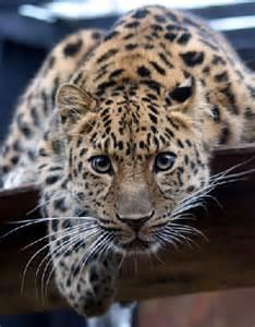 Amur Leopard Endangered Animals