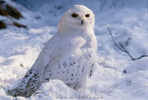 snowy owl photographed in alaska they nest in the arctic