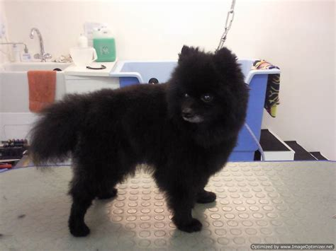 Black Pomeranian Puppy Cut Www Imgkid Com The Image Kid