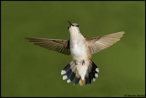 hummingbirds of costa rica ecuador and the us