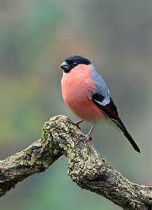 Image result for bullfinch