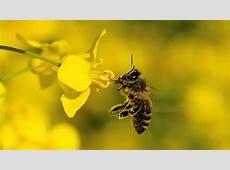 Pestizide schaden Bienen doch Spektrum der Wissenschaft