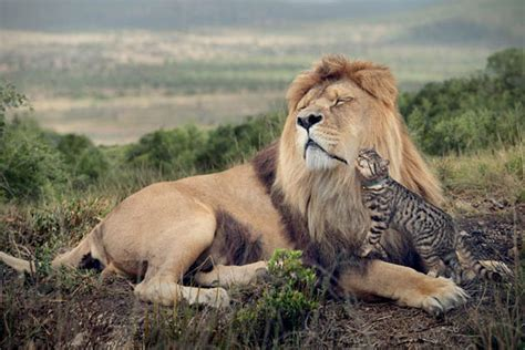 Wonderful ?Big Cat, Small Cat? photos show domestic felines living it up in the wild