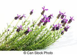 Pflanze Lila Blätter : lila bl tter lavendel gr n blumen b ndel kugel oben lila bl tter lavendel studio ~ Eleganceandgraceweddings.com Haus und Dekorationen