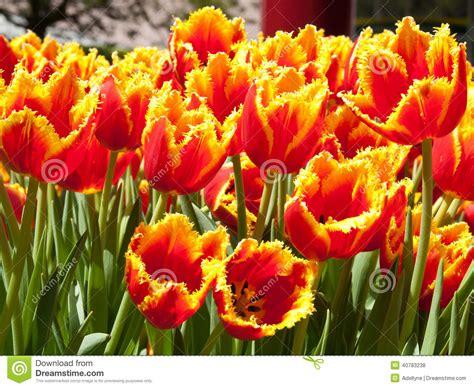 amsterdamse bloemen tulpen tulpen in keukenhof park amsterdam stockfoto bild 40783238
