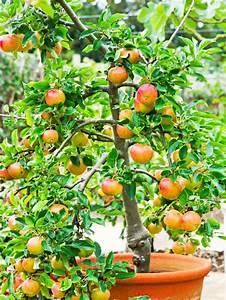Growing Apple Trees In Pots