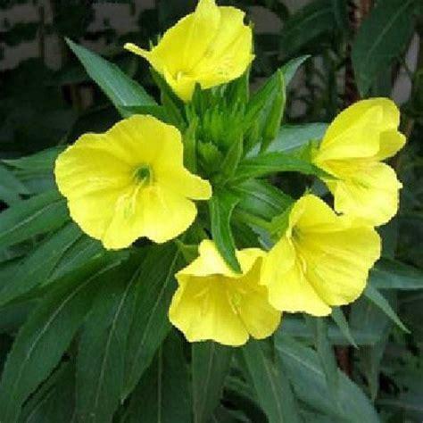 plants mosquito repellent 50 mosquito repellent tuberose seeds garden plant us 2 69