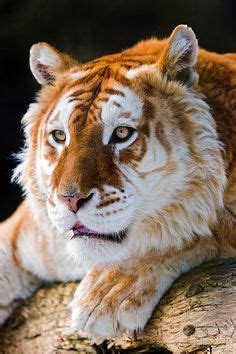 Images About Golden Tabby Tiger